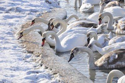 Лебеди в Чертории мерзнут и голодают
