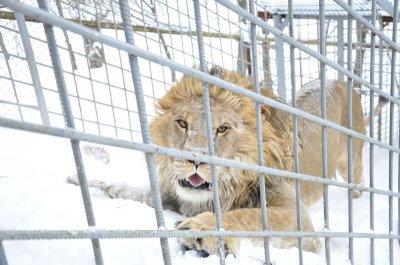 Лев играет в снегу, а кабаны едят борщ