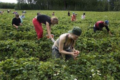 Сбор ягод - это школа выживания