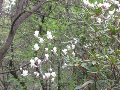 В Ботаническом саду расцвели магнолии