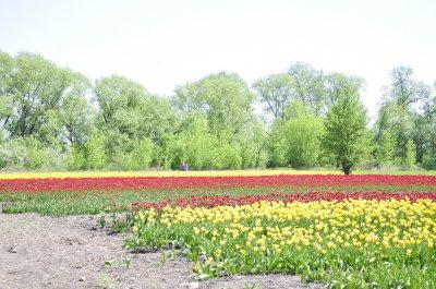 В Черновцах расцвела тюльпановая долина