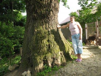 Старейшее дерево Черновцов имеет 300 лет
