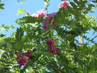 В Черновцах зацвела розовая акация