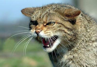 Латвийские охотники смогут отстреливать бездомных кошек