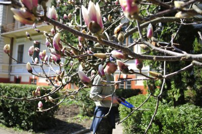 В Черновицком Ботсада цветут магнолии