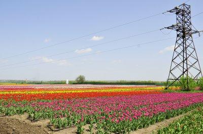 Возле Черновцов расцвело тюльпанное поле