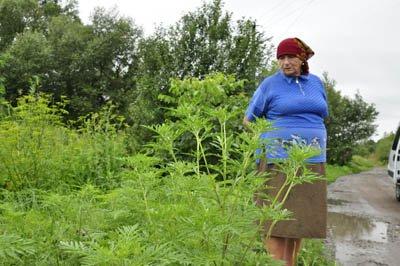 На околицях Чернівців росте небезпечний для людини борщівник