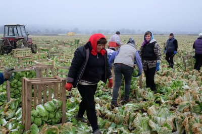 The village that feeds all Chinese cabbage