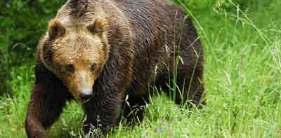 На Вижниччині порахували вовків, ведмедів та рисів