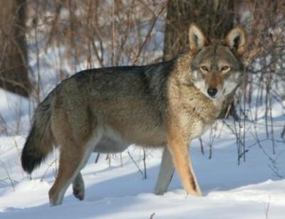 На Буковині відстрілюють вовків — для зменшення популяції