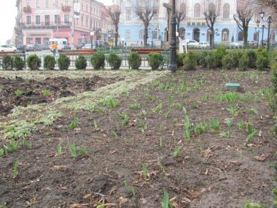 У Чернівцях посадили 10 тисяч тюльпанів