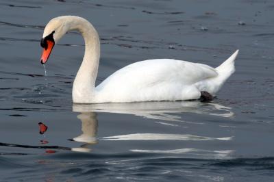 На Буковину масово прилітають лебеді з «ЛНР»
