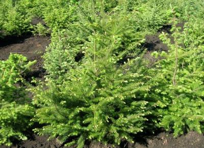 На Буковині посадили дерева-екзоти