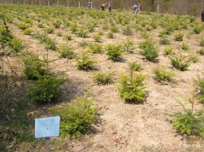 Лісівники Буковини звітують про посадку 500 гектарів лісу