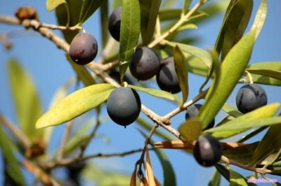 Через чернівецьку митницю незаконно намагалися перевезти оливки на 40 тисяч