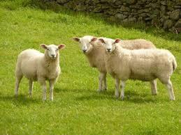 На Путильщині занепадає вівчарство