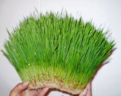 Омолодження від паростків пшениці