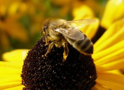 На Буковині через кроплення дерев гинуть бджоли