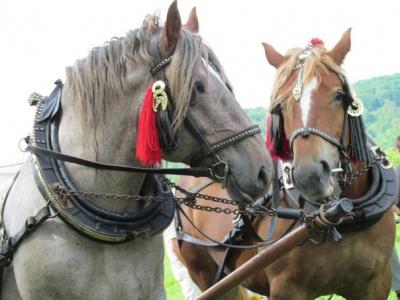 На Буковині господарі з різних районів влаштували змагання між своїми кіньми (ФОТО)