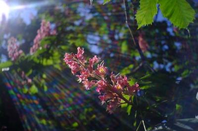 У дендропарку ЧНУ зацвів розкішний рожевий каштан (ФОТО)