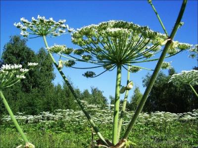 Від рослини – опіки та набряки