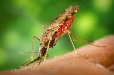 Комарі рятуватимуть від малярії