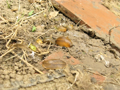 У Чернівцях у мікрорайоні Роша - нашестя рудих слимаків