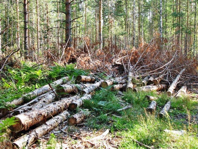 На Буковині у лісі від падіння дерев загинуло двоє людей