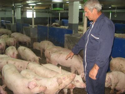 Свиней вирощують у «суворому режимі»