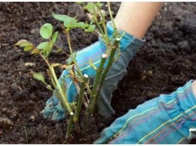 У 2014 році Чернівці озеленили на чотири мільйони гривень