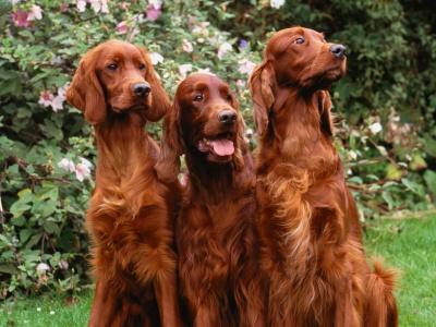 У вихідні у Чернівцях пройде видовищна виставка собак