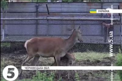 Новонароджене оленятко на Буковині представили публіці (ВІДЕО)