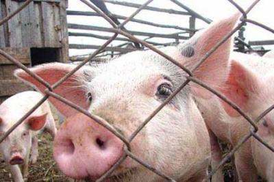 На Київщині та Житомирщині виявили вірус африканської чуми свиней