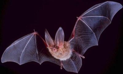 На Буковині досліджуватимуть кажанів