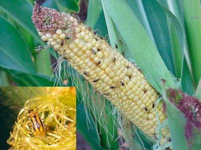 Буковині загрожує кукурудзяний жук