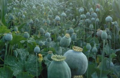 На городі буковинки серед кукурудзи виявили грандіозну плантацію маку (ФОТО)