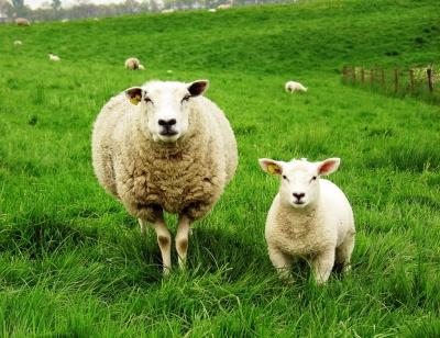 Чим корисна овеча вовна