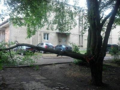 У Чернівцях вночі зламалося 40-річне дерево