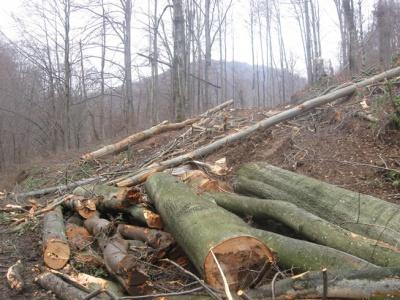 На Буковині суд виправдав сільського голову, якого звинувачували у вирубці 315 дерев