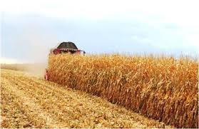 Через неврожай на Буковині подорожчає кукурудза, зерно та соя
