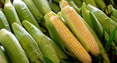 На Буковині очікують поганий урожай сої та кукурудзи