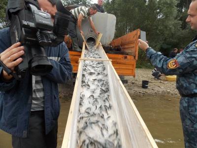 У Прут на Буковині випустили 120 тисяч малька форелі