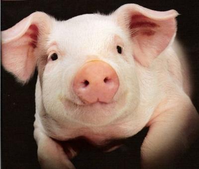 На Буковині зменшується поголів'я худоби та свиней