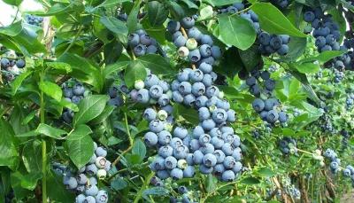 На Буковині вирощуватимуть ягоди лохини