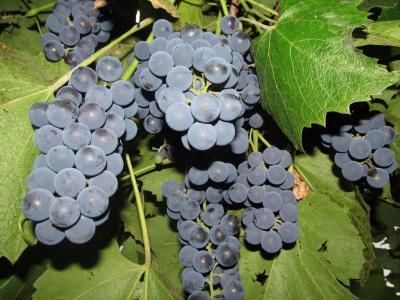 Буковинець розповів, як правильно зберігати виноград