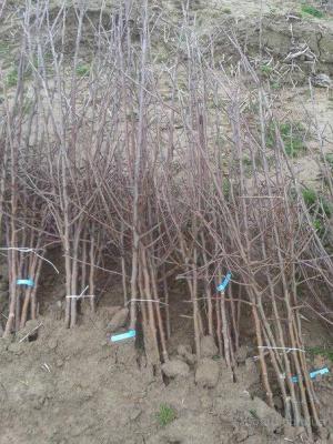 20 тисяч гривень пропонує буковинський садівник за інформацію про злодіїв
