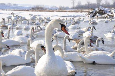 На Буковині у селі Чортория поменшало лебедів