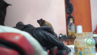 Незвичний гість: чернівчанин прихистив у себе вдома кажана (ВІДЕО)