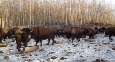 Мережу підірвало відео, де фермер у Канаді кличе українською мовою бізонів (ВІДЕО)