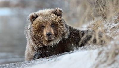 Ведмеді в Селятині на Буковині ще не заснули